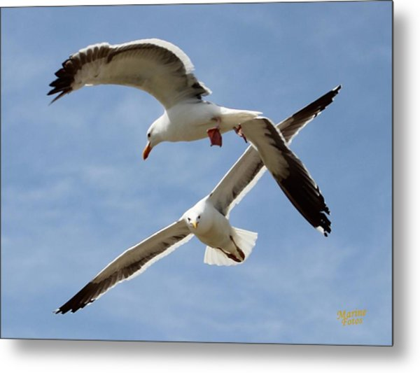 Two Seagulls Almost Collide  Metal Print