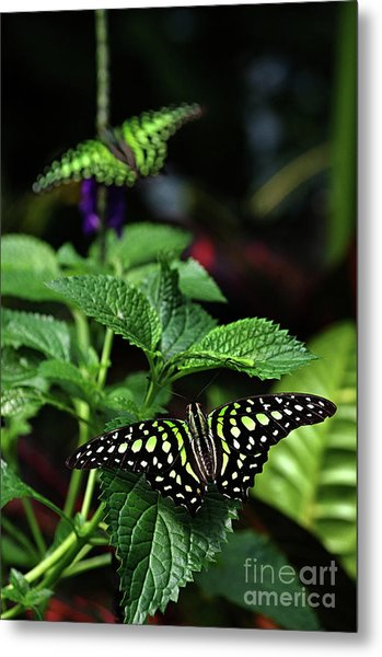 Two Tailed Jay Butterflies- Graphium Agamemnon Metal Print