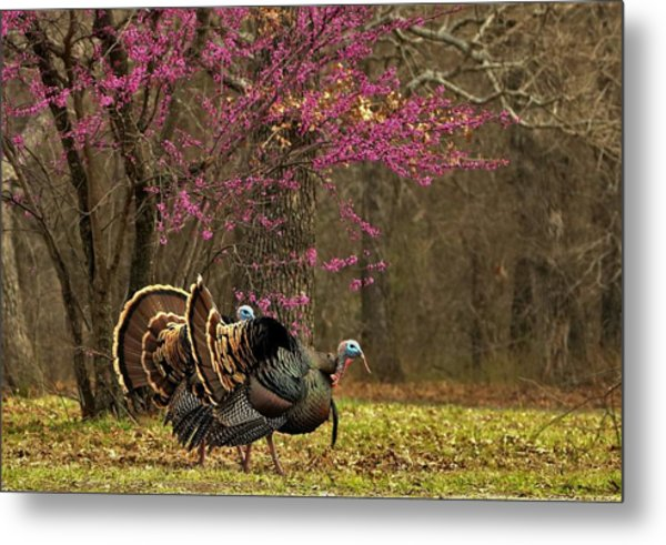 Two Tom Turkey And Redbud Tree Metal Print