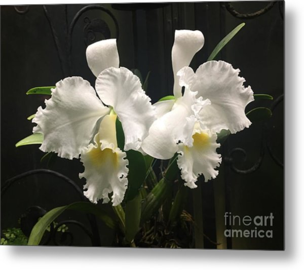 Two White Orchids Metal Print
