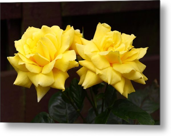 Two Yellow Rose Buds Metal Print by Stephen Athea