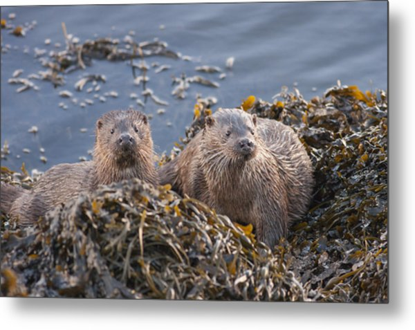 Two Young European Otters Metal Print
