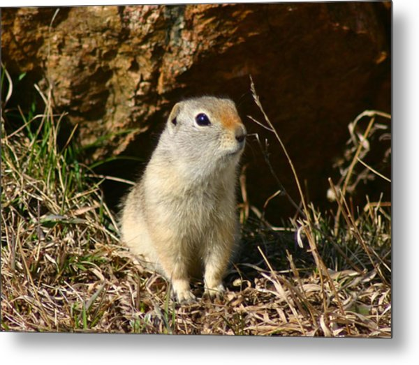 Uinta Ground Squirrel Metal Print