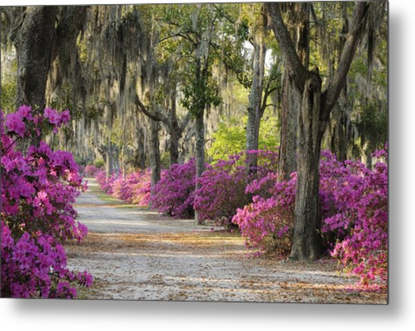 Unpaved Road With Azaleas And Oaks Metal Print
