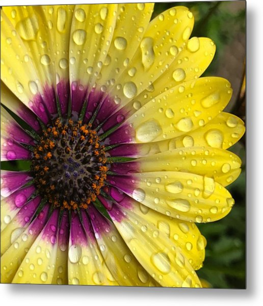 Daisy Up Close  Metal Print