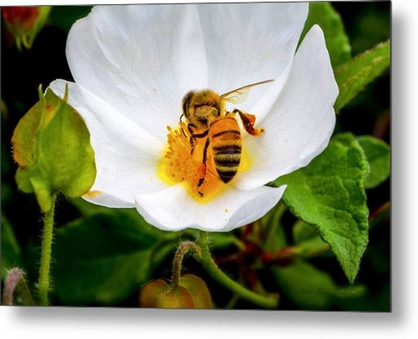 Vacaville Honey Bee Metal Print