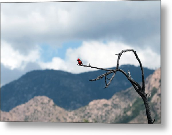 Vermillion Flycatcher Male Metal Print