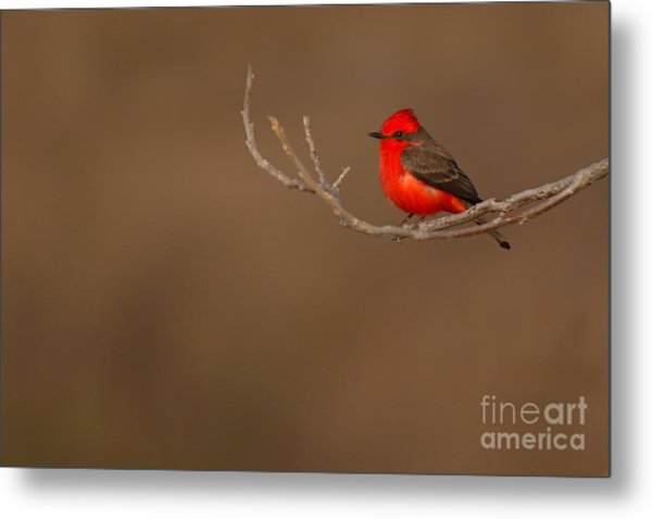 Vermillion Flycatcher On Early Spring Perch Metal Print