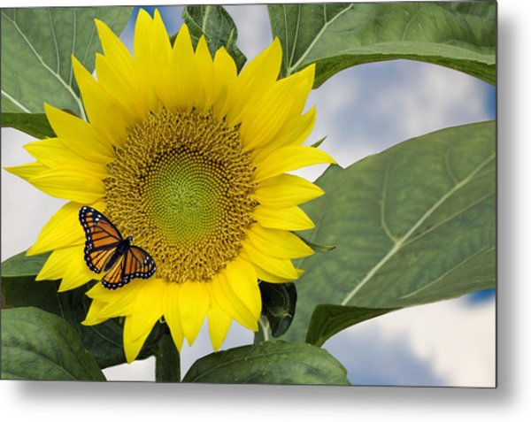Metal Print featuring the photograph Viceroy And Sunflower by Wade Clark