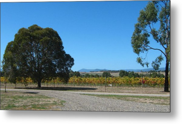 Vineyard Trees Metal Print