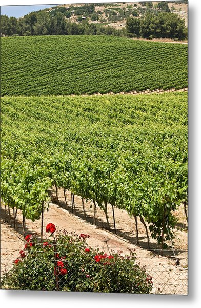 Vineyards In The Galilee Metal Print by Arik Baltinester