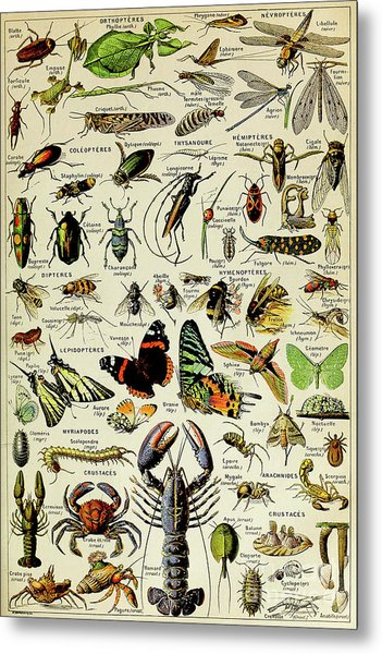 Vintage Illustration Of Various Invertebrates Metal Print