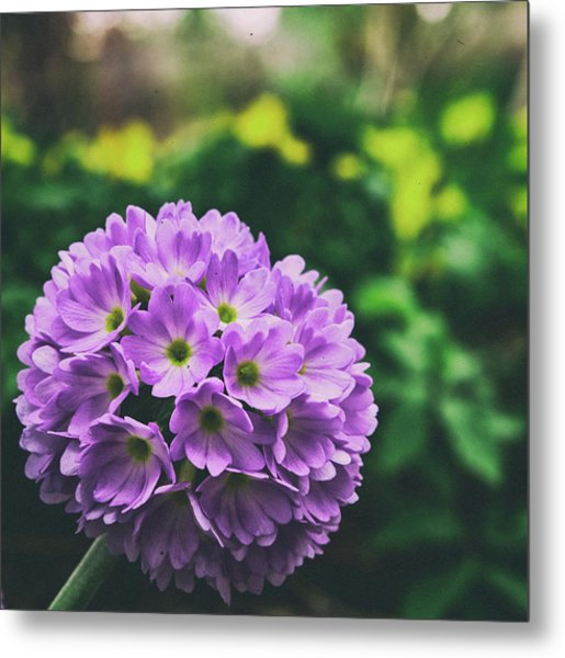 Metal Print featuring the photograph Vintage Primrose  by Philip Rodgers
