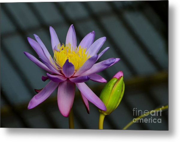 Violet And Yellow Water Lily Flower With Unopened Bud Metal Print