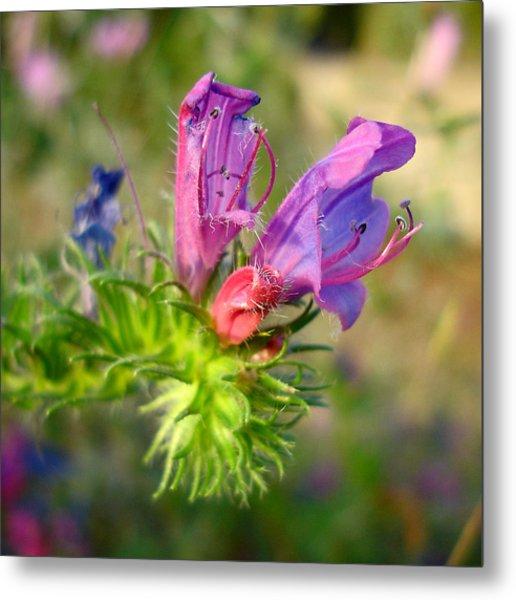 Viper's Bugloss 1 - Echium Vulgare Metal Print