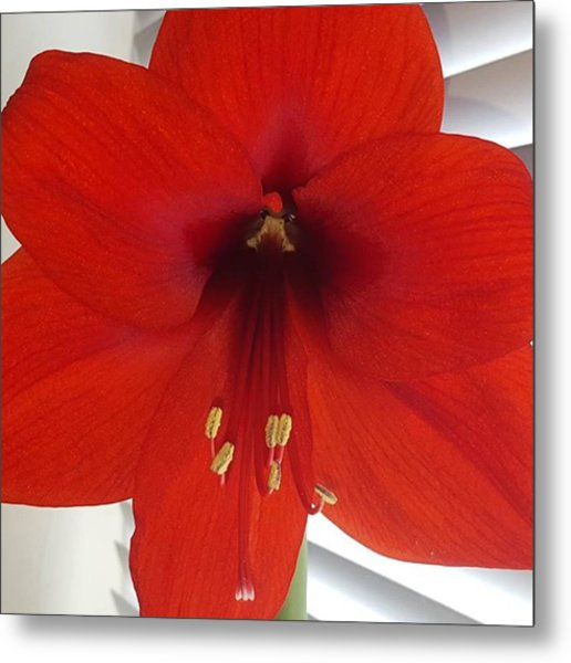 Waited 8 Weeks For My Giant Amaryllis Metal Print by Dante Harker