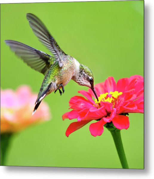 Waiting In The Wings Hummingbird Square Metal Print