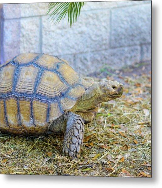 Walking Turtle Metal Print