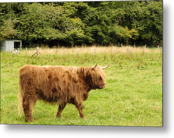 Metal Print featuring the photograph Wandering Coo by Christi Kraft