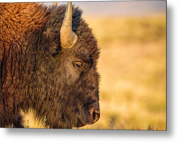 Warm Bison Metal Print