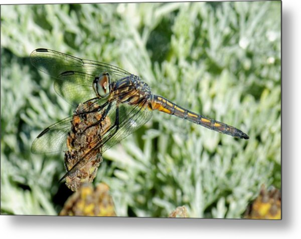 Warming-up - Darner Dragonfly Metal Print