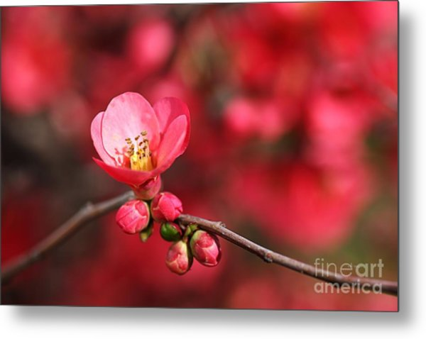 Warmth Of Flowering Quince Metal Print