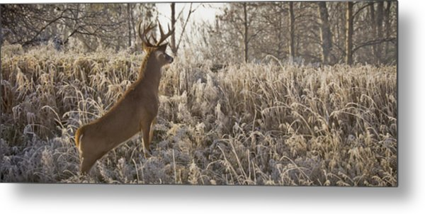Wary Buck Metal Print