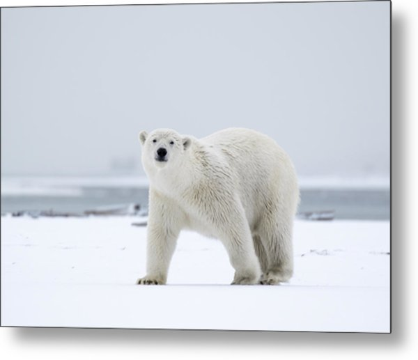 Watchful In The Arctic Metal Print