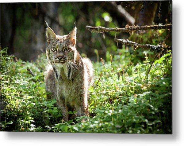 Watchful Mama Lynx Metal Print