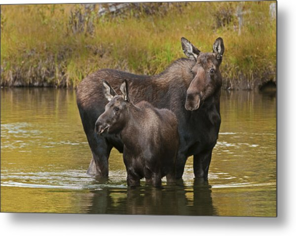 Watchful Moose Metal Print