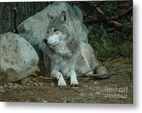 Watchful Wolf Metal Print