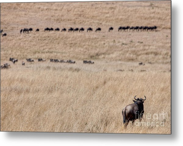 Watching The Herd Metal Print