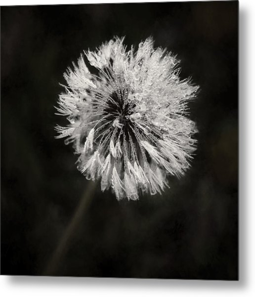Water Drops On Dandelion Flower Metal Print
