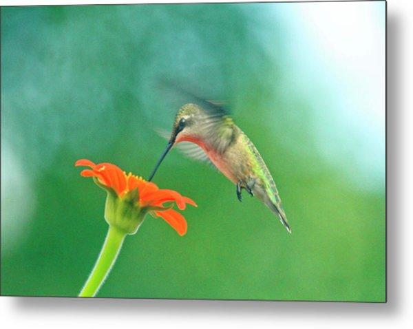 Hummingbird And Zinnia With Sun Glare Metal Print