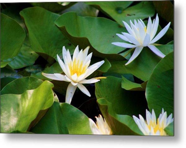 Water Lilies Metal Print by Dana Blalock