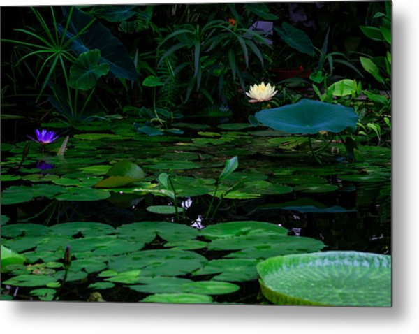 Water Lilies In The Pond Metal Print