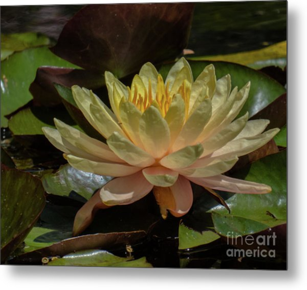 Water Lilly 1 Metal Print