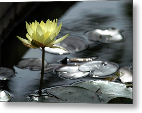 Metal Print featuring the photograph Water Lily And Silver Leaves by Dubi Roman