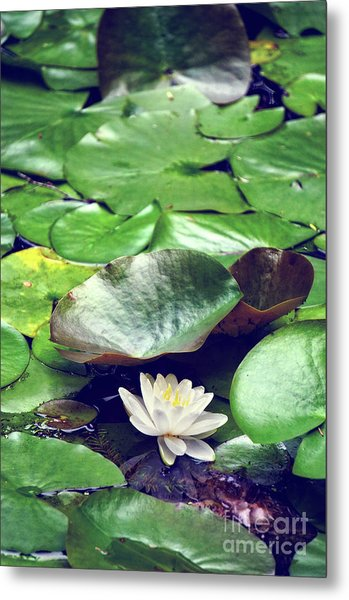 Water Lily II Metal Print by HD Connelly