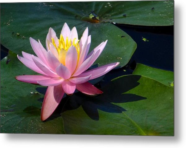 Water Lily In Mountain Lake Metal Print