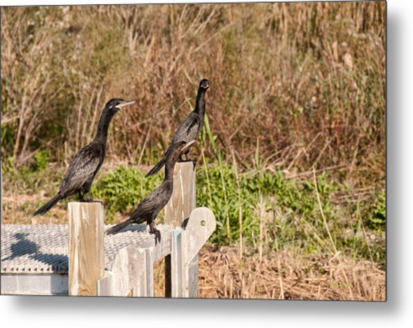 Water Turkeys In The Marsh Metal Print by Bill Perry