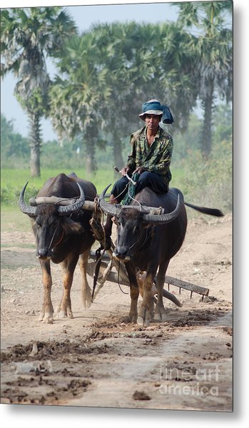 Waterbuffalo Driver Returns With His Animals At Day's End Metal Print