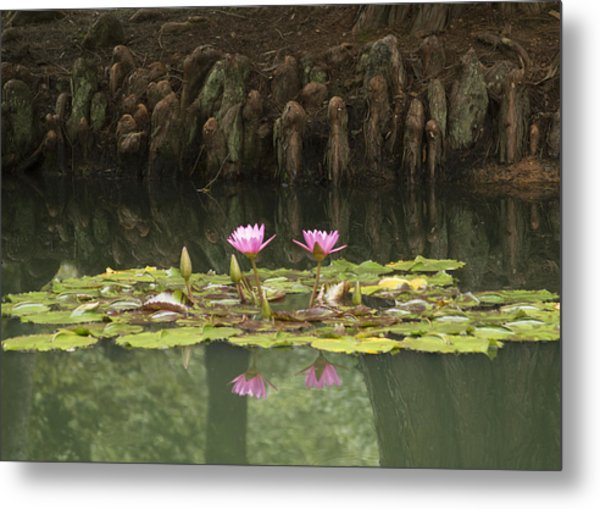 Waterlilies And Cyprus Knees Metal Print