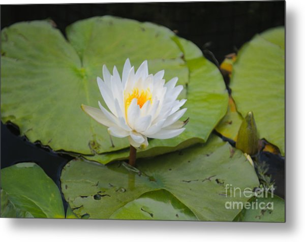 Waterlilies Metal Print by Miguel Celis