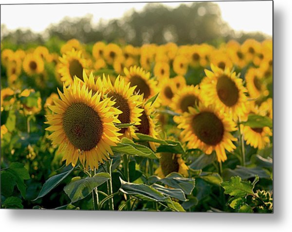 Waving Sunflowers In A Field Metal Print