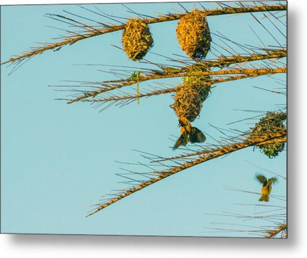 Weaver Birds Metal Print