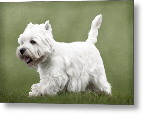West Highland Terrier Trotting Metal Print