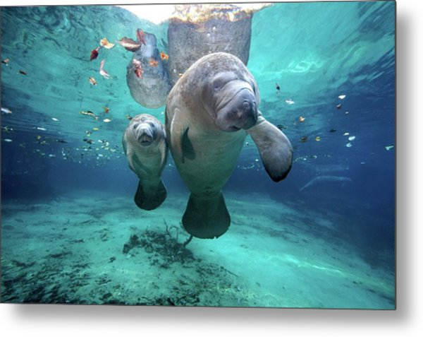 West Indian Manatees Metal Print