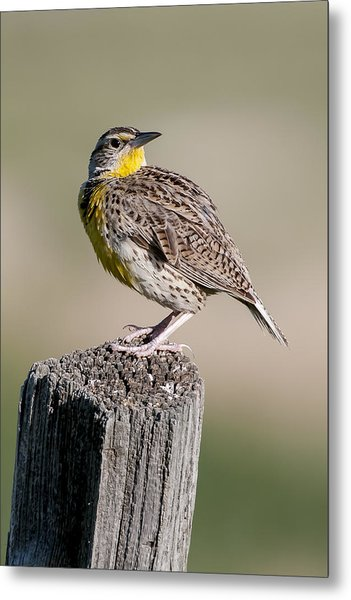 Metal Print featuring the photograph Western Meadowlark by Gary Lengyel