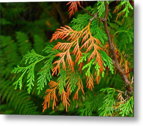 Western Red Cedar Metal Print